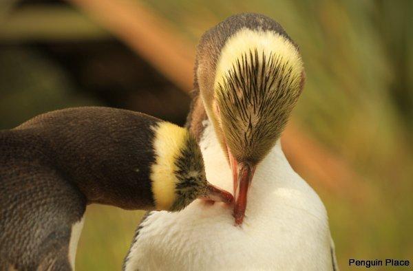 但尼丁黄眼企鹅保护区